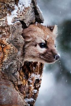 wonderous-world: Pine Marten by Steve Fellows | denlArt