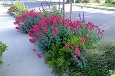 Centranthus ruber 'red valerian' or Jupiter's Beard is hardy to zone 9 Sidewalk Landscaping, Low Water Landscaping, Front Yard Landscaping, Side Garden, Garden Oasis, Perennial Ground Cover, Backyard Creations, Drought Tolerant Plants, Flowers Perennials