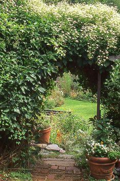 Etoile Violette Clematis (Clematis viticella)