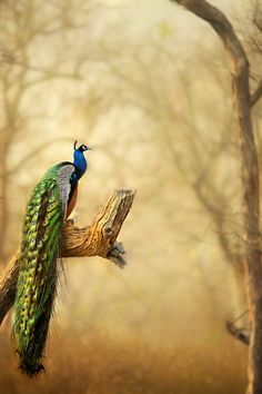 Peacock in India