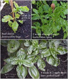 DIY Organic Garden Insect Spray That Works!