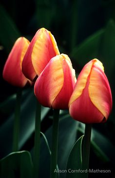 Four Tulips by Alison Cornford-Matheson