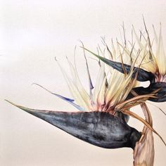 Mali Moir bird of paradise watercolor