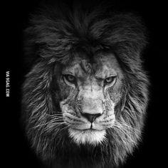 Lion King Metal License Plate Frame Decorative Front Plate X Lion Memes, Lion Love, Leo Traits, Lion Wallpaper, Leo Women, Lion Pictures, Lion Of Judah, Lion Art, Lion Tattoo
