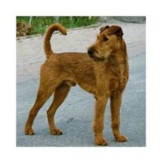 A house isn't a home without an Irish Terrier <3