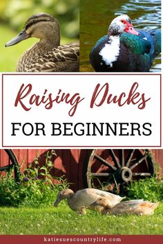 Here you will find everything you need to know about raising your grown ducks. Learn about raising your ducks after the fuzzy feathers and heat lamps are gone. What To Feed Ducks, Keeping Ducks, Backyard Ducks, Raising Ducks, Duck House, Duck Eggs, Homestead Living, Nesting Boxes, Permaculture