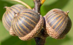 gland de chêne des marais, #chêne palustre, quercus palustris