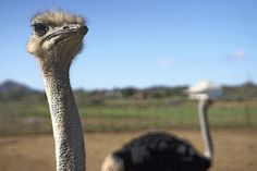 Sudáfrica. Avestruz. Foto de Jano Ferrer