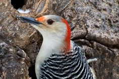 Ms. Red-bellied Woodpecker finds herself with suet on her beak and no table napkin.