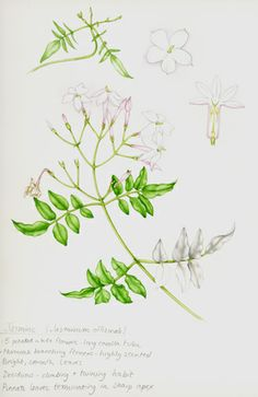 """""""This is Jasmine, and what I most loved about this was the spiralling of the stamen.  The smell is a little too heavy to share the studio with forlong, but the simple bright leaves were a joy to paint."""" Lizzie Harper, artist"""