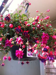 Fushia hanging basket. Maybe, just maybe I wouldn't kill this. Now I just have to find one!
