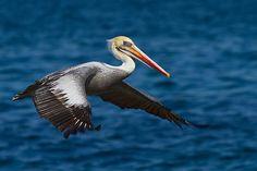 Pelicano | Flickr - Photo Sharing!
