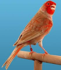 We call cakes to specimens that are affected by a mutation that consists of a reduction of the faromile structure and the spread of brown eumelanin Pretty Birds, Beautiful Birds, Canary Birds, Exotic Birds, Horse Pictures, Photos Du, Beautiful Creatures, Animals And Pets, Parrot