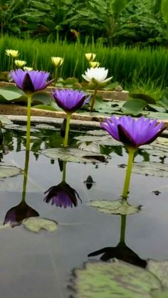 Pond Plants, Aquatic Plants, Water Plants, Lotus Garden, Lotus Plant, Container Water Gardens, Lily Painting, Flowering Trees, Flower Pictures