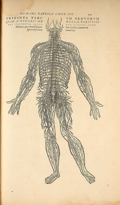 Illustrations from the 1555 edition of De humani corporis fabrica an early anatomical work by Andreas Vesalius (1514 - 1564) commonly known as the Fabrica. #history #neomodernist
