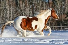 American Paint Horses: Bringing Color into the Show