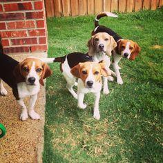 Beagles enjoying the sun! Poppy, Sage, Beau, Audi (L to R)