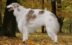 """❤ =^..^= ❤   Borzoi.  Hunters didn't """"test"""" Borzoi on wolves, they were bred to hunt wolves three at a time.  One of my males weighed 132 pounds: they are built to run up to 36 mph.  They are sweet natured dogs: we always have two so they can run together, play together, do """"ballet"""" together.  *LOL*  They are also big couch potatoes and make wonderful house dogs as long as you have a safe place for them to run.  Hope this clears up some of the """"mistakes"""" in the article."""