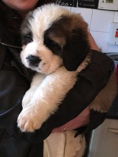Baby Puppies, Cute Puppies, Cute Dogs, Dogs And Puppies, Doggies, Big Dogs, I Love Dogs, St Bernard Puppy, Cute Little Animals