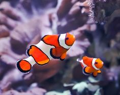 Clownfish | 12 Gorgeous Animals of the Coral Reef