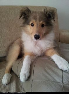 If I ever end up getting a dog again...and it's not Romey....I think I would like to get another sheltie. They make FABULOUS pets!