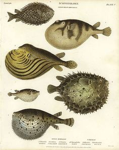 Antique print: picture of Puffer Fish and Box Fish - Varieties of Tatrodon and Diodon
