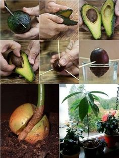 (TruthSeekerDaily) The next time you eat an avocado or use one in a recipe, save the stone or pit. Planting your own avocado tree is fun and easy. It is a perfect task for all ages - for the garden, for indoors, and also makes a great project for class or Vegetable Garden, Garden Plants, Indoor Plants, Tree Garden, Garden Soil, Container Gardening, Gardening Tips, Organic Gardening, Indoor Gardening