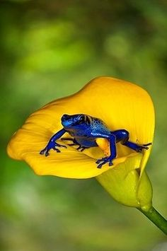 dendrobates azurus My fav frog! poison arrow frog from sirinam in south america (sorry if the spelling is wrong, wrote that from memory) Les Reptiles, Reptiles And Amphibians, Mammals, Beautiful Creatures, Animals Beautiful, Cute Animals, Frog And Toad, Mundo Animal, Tier Fotos