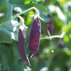 Purple Snow Pea