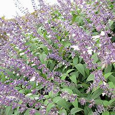 Salvia - 'Phyllis Fancy' (Salvia)