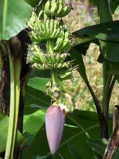 Banana plant - Country side - Chiang Mai