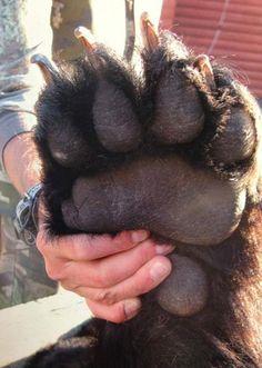 Paw of an 8 ft brown bear http://ift.tt/1ld0pN9
