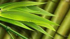 Resultado de imagen para bamboo leaves