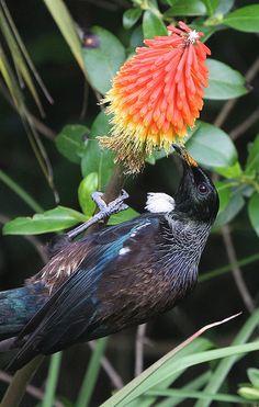 Tui feeding from the nectar of a Red Hot Poker Bird Pictures, Horse Pictures, Beautiful Birds, Animals Beautiful, Tui Bird, New Zealand Tattoo, Maori Art, Mundo Animal, Small Birds