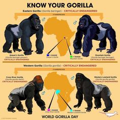 Know Your Gorilla, a very endangered species. Fun Facts About Animals, Animal Facts, Nature Animals, Animals And Pets, Cute Animals, Animals Information, Mountain Gorilla, Animal Species, Endangered Species