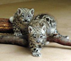 Snow Leopard - Friki.net