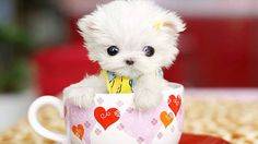 Teacup dog, la folle moda dei mini cani