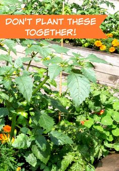 """Part 2 of my """"What Not To Plant Together"""" Series - The list might look long, but please, if you are planning your spring garden, don't plant these together!"""
