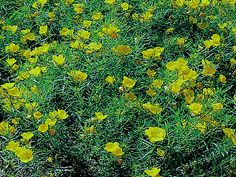 Saltillo Evening Primrose, Oenothera stubbei. Also called Baja Evening Primrose, Chihuahuan Evening Primrose. Xeriscape Landscaping Plants F...