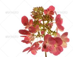 Realistic Graphic DOWNLOAD (.ai, .psd) :: http://jquery-css.de/pinterest-itmid-1007019587i.html ... Isolated Hydrangea ...  Hydrangea, bloom, blooming, blossom, closeup, floral, flower, fresh, hortensia, isolated, leaf, macro, petal, pink, plant, spring, summer  ... Realistic Photo Graphic Print Obejct Business Web Elements Illustration Design Templates ... DOWNLOAD :: http://jquery-css.de/pinterest-itmid-1007019587i.html