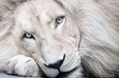 Lion, White, Animal Love, King