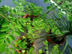 Le Moringa est un arbre exotique naturalisé et cultivé dans de nombreux pays tropicaux. C'est une des plantes les plus utiles et polyvalentes qui existent