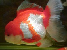 25cm ZhiYuan Oranda Goldfish