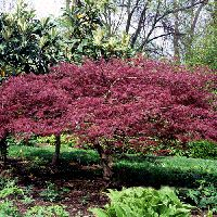 Can a tree make you & your neighbors say WOW? We bet that our Bloodgood Japanese Maple Tree will! Japanese Maple Tree Bonsai, Bonsai Maple Tree, Green Japanese Maple, Bloodgood Japanese Maple, Maple Tree Seeds, Japanese Tree, Acer, Bonsai Seeds, Home Garden Plants