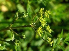 Pastinake, wilde (Pastinaca sativa) Blüte