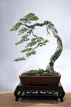 Bonsai #bonsai