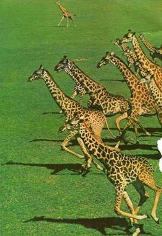 Afbeeldingsresultaat voor giraffes on the run