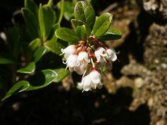 endangered Vaccinium vitis-idaea Vaccinium_vitis-idaea_(flowering).jpg 3,604×2,703 pixels