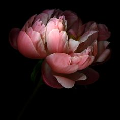 CREATIVITY IS A VERY DELICATE FLOWER... represented here by A PEONY. by Magda indigo, via 500px