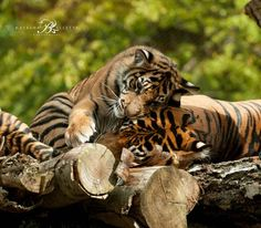One of those special moments between a tiger cub and their mum.